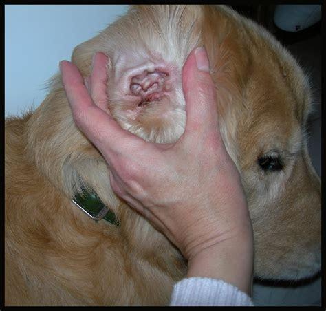 dogs ear swollen ear hematoma swollen ear flap breeds picture
