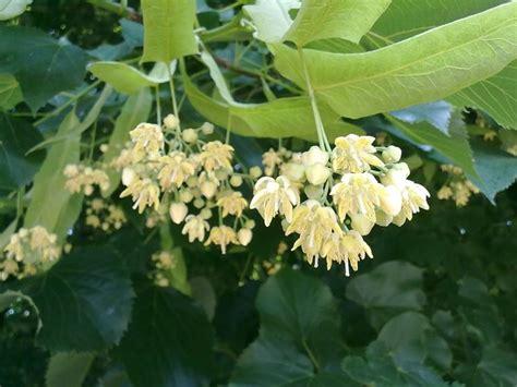 piante da fiore da giardino alberi da fiore da giardino piante da giardino alberi