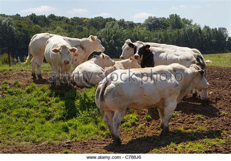 blue cattle belgian blue cattle www pixshark images galleries with a bite