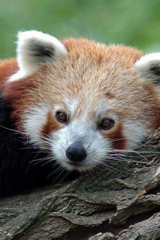 red panda iphone wallpaper idesign iphone