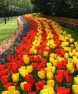 tulip golden parade giant darwin hybrid tulips tulips