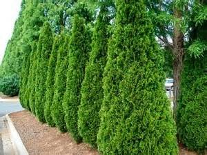 Fences For Backyards Types - best privacy trees for your backyard the tree center