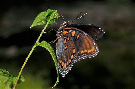 Gw 244h Butterfly spotted purple butterfly
