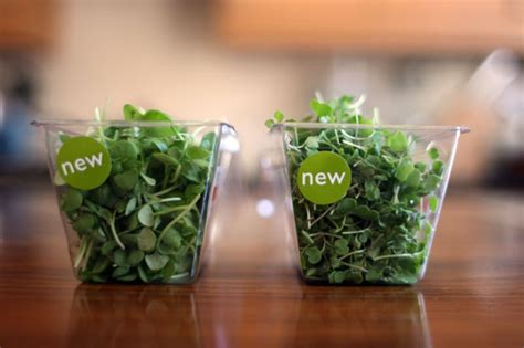Microgreens Benih Basil Sprout Micro Green Basil Kemangi Import microgreens what they are and why we like them yuppiechef magazine