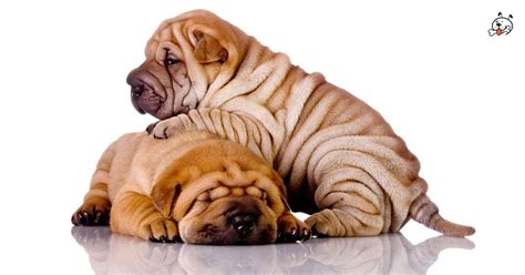 shar pei pug puppies for sale shar pei puppies breed world breeds picture