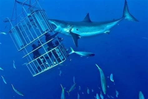 cage dive with sharks shark cage diving without cruelty