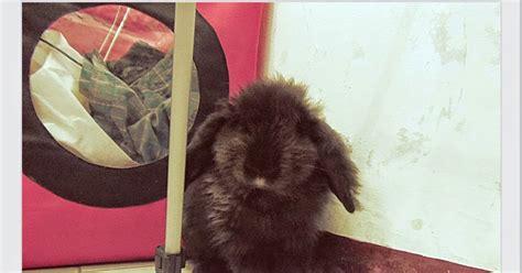 Kelinci Hias Jenis Fuzzy Lop Usia 2 Bulan 5 jenis kelinci fuzzy lop serta perawatan dan harga everybodygoesblog