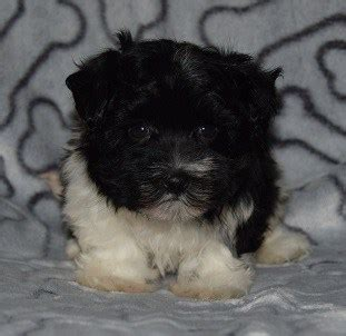 havanese for sale in pa havanese puppy for sale fancy puppies for sale in pa nj md