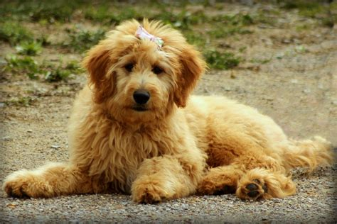 mini doodle hund kostenloses foto goldendoodle hund doodle tier