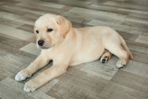can golden retrievers live in apartments 5 tips to make a cozy space for your new puppy the momma bird