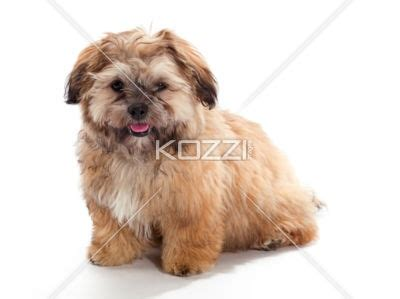 shih tzu tongue sticking out 37 best images about shi poo on the golden alabama and best dogs