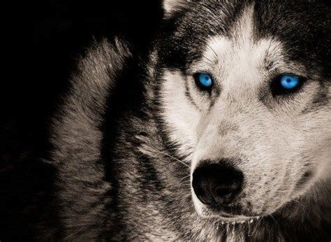 wolf husky puppies with blue eyes black wolf with blue eyes black wolf with blue eyes