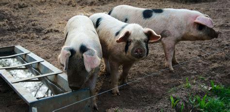 threat   swine flu viruses  pigs  humans university  cambridge