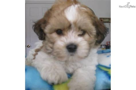 puppies for sale wisconsin teddy puppies for sale in wi breeds picture
