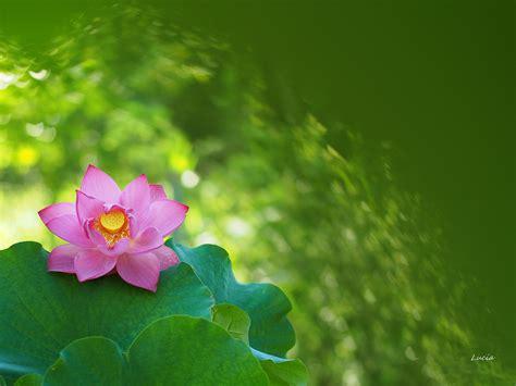imagenes de flores para descargar bellas flores rosadas hd 2048x1536 imagenes wallpapers