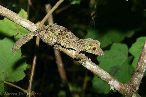 Leaf gecko photo - WP19402