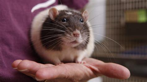 vancouver seeks  homes   fancy rats ctv news