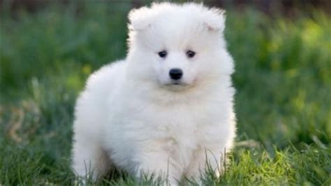 samoyed puppies for sale florida samoyed puppies for sale new york for sale albany pets dogs