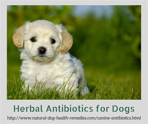 antiseptic for dogs canine antibiotics herbal antibiotics for dogs