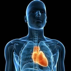 Barne Hjertets Plassering I Kroppen Ndla
