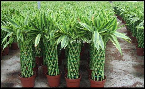 Tanaman Bambu Rejeki begini cara merawat tanaman bambu rejeki