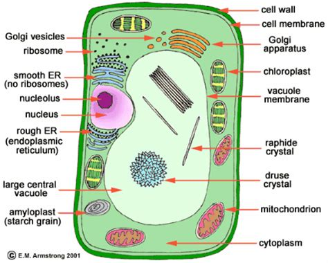 labeled cell diagram labeled plant cell diagram cell diagram