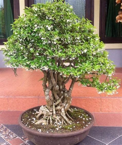 jual beli bonsai anting putri xl tua baru jual beli