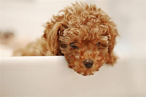 poodle lifespan miniature poodle what is the span of a miniature poodle cuteness
