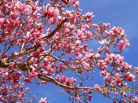 dwarf magnolia tree types www imgkid com the image kid has it