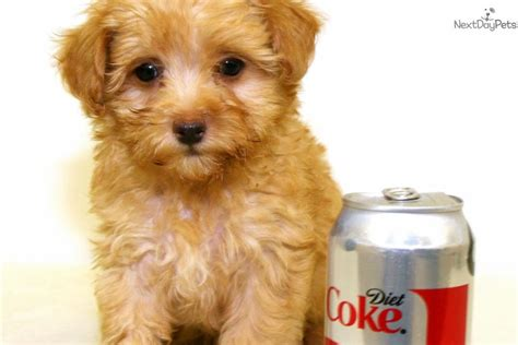 cavapoo puppies ohio cavapoo puppy for sale near columbus ohio a4396125 e2c1