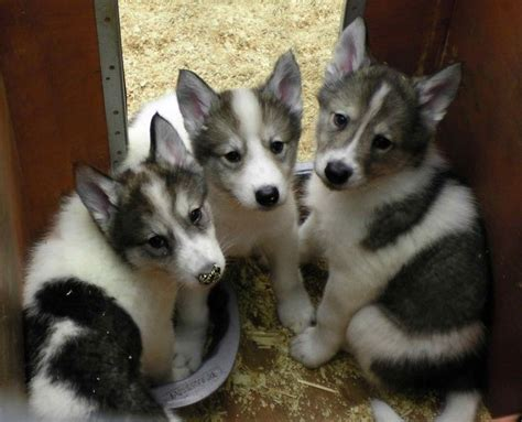 american indian breeders american indian indian dogs indian puppies breeders at the pet breeds