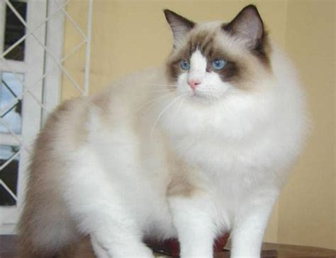 ragdoll cat lifespan span of ragdoll