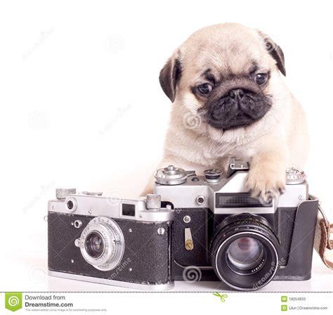 pug purebred pug purebred puppy stock photos image 18254833