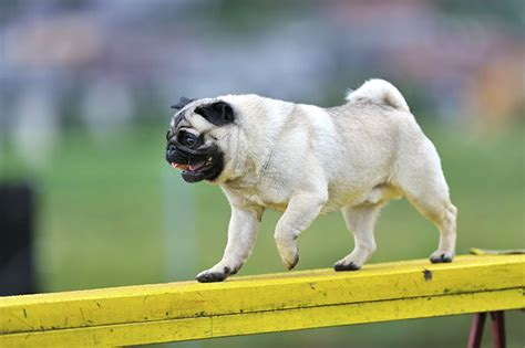 how does pugs live facts about pugs