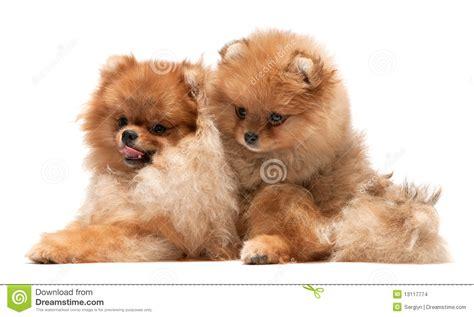 pomeranian family pomeranian spitz family stock images image 13117774