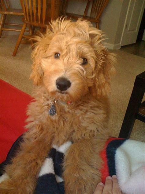 goldendoodle breeders indiana 130 best golden doodle grooming styles images on