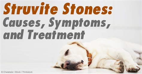struvite crystals in dogs struvite stones diagnosis causes and symptoms