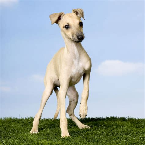 italian greyhound puppies italian greyhound puppies learn the charms and challenges of this ancient breed