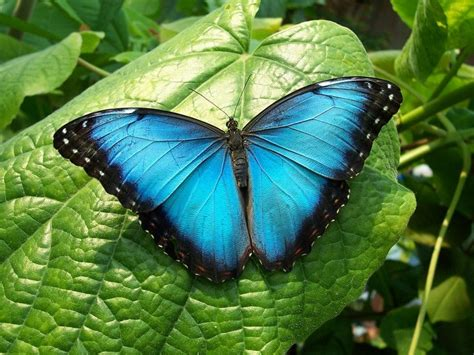 imagenes de mariposas unicas mariposa azul caracter 237 sticas significado peligro de