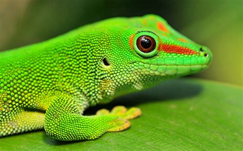 gecko green gecko wallpaper 673479