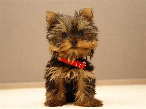 yorkie puppy development terrier