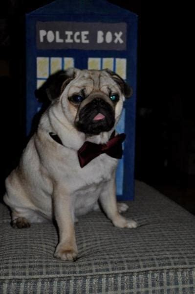 dr who pug 97 best images about pugs on