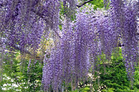 foto glicine in fiore glicine storia leggende e linguaggio dei fiori il