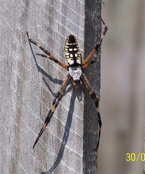 Garden Spider Usa by Argiope
