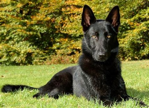 black german shepherd 7 things you didn t about the black german shepherd animalso