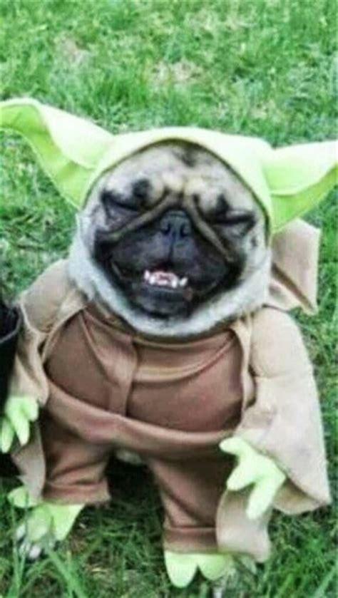 yoda the pug yoda pug ame