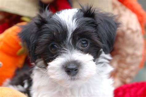 havanese puppy black and white havanese puppies newhairstylesformen2014