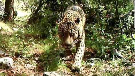 jaguar in u s there s of one in arizona cnn