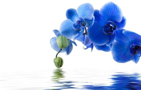orchid blue water reflection flowers beautiful orchid wallpaper flowers water blue orchid reflection