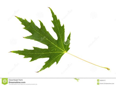 green leaf of maple tree isolated on white backg stock